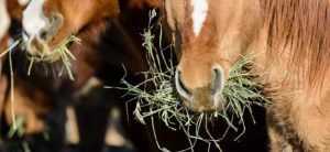 Avoiding Colic as Horses Transition from Pasture to Hay